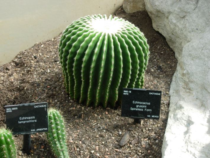 echinocereus-grusonni-spineless