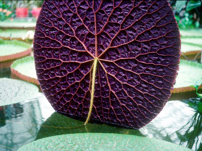 Amazon Waterlily
